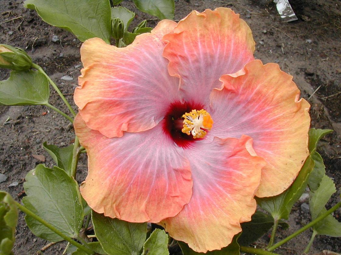 fotos de nuestros hibiscos unas fotos de las ultimas variedades