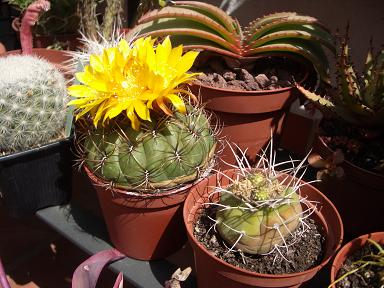 Cactus floridos - Infojardin cactus ...
