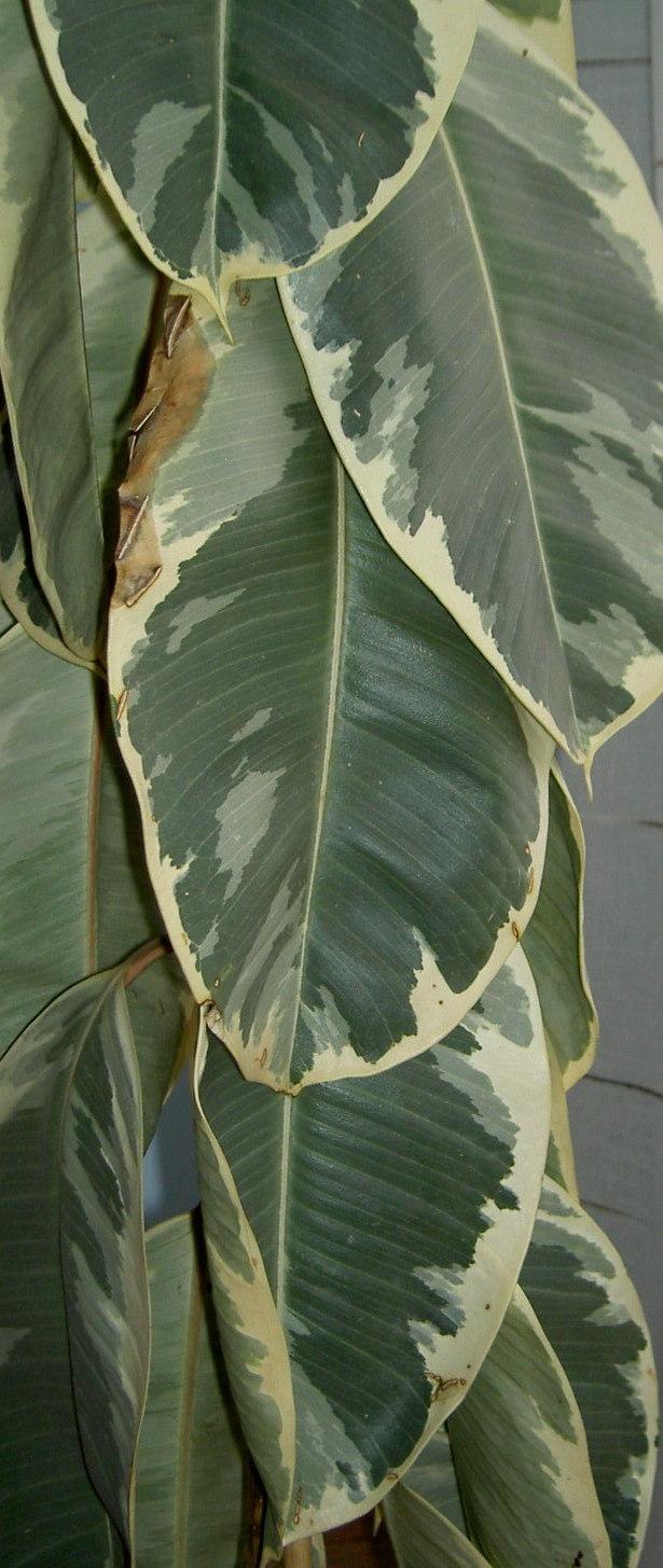 Ficus elastica doescheri con aspecto trist n - Ficus elastica cuidados ...