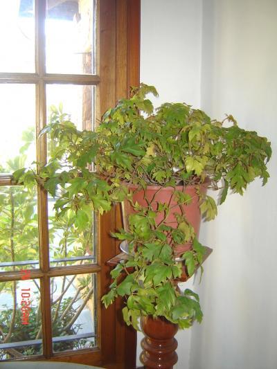 Cuidados de las palmeras fotos de plantas de interior y for Plantas de interior fotos y nombres