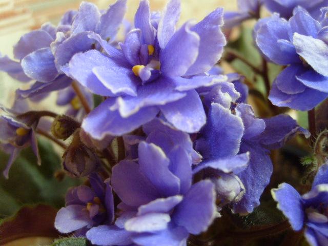 Violetas del vintage, africano variedades violeta