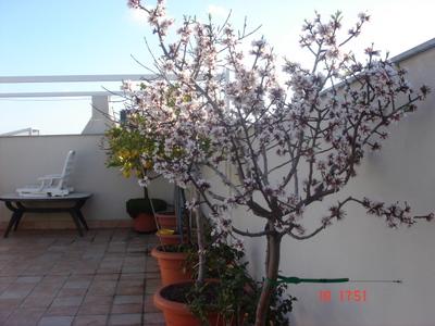 Foto De Almendro En Maceta En Terraza En Floración