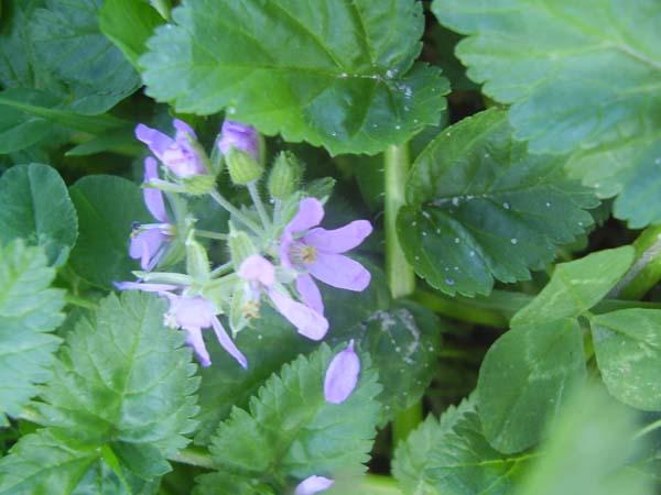 Algunas plantas silvestres for Algunas plantas ornamentales