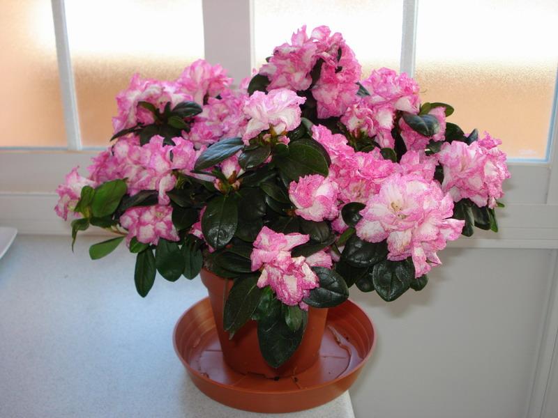 Identificar tres plantas en maceta - Azalea cuidados planta ...
