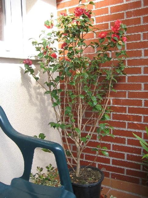 Poda de floraci n de camelia - Poda de hortensias epoca ...
