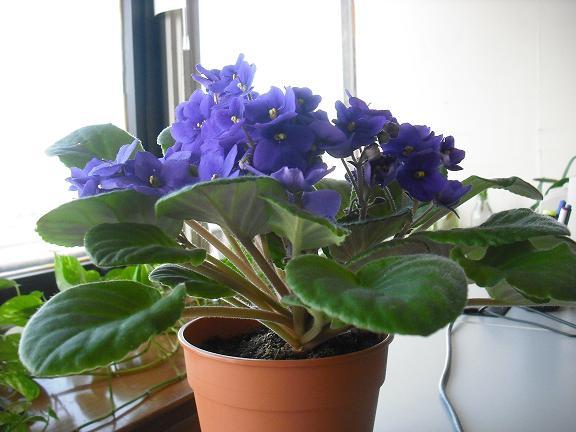 la siguiente es una violeta de los alpes, bueno por lo menos aca la