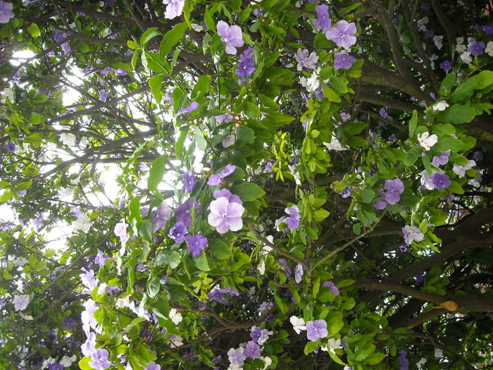 árbol con flores azul morado y blancas - Foro de InfoJardín