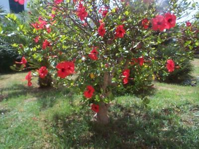 C mo podo mi arbol gigante de hibiscus for Hibiscus arbol