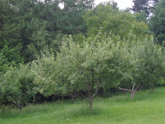 Poda de manzanos poca y consejos - Poda de hortensias epoca ...