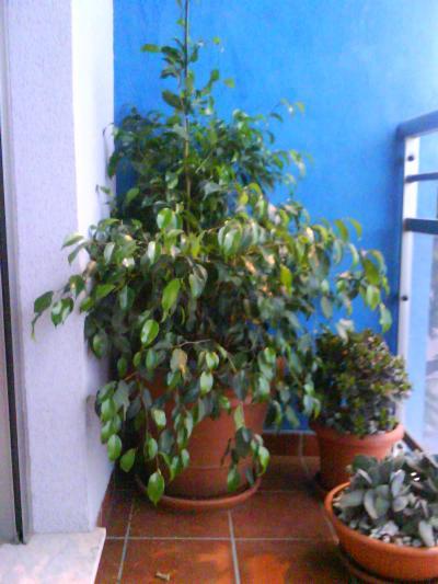 Podar un ficus que est creciendo hacia los lados - Ficus elastica cuidados ...