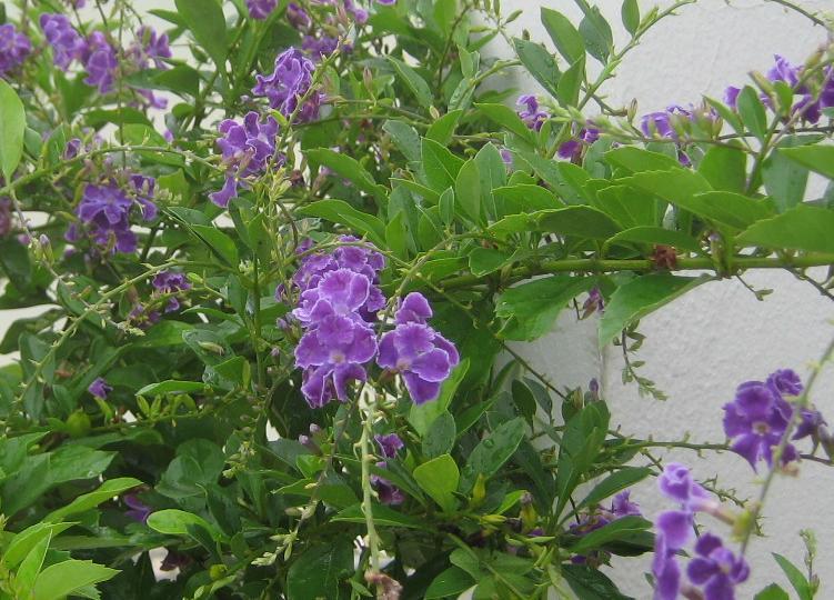 planta con flores moradas imagui