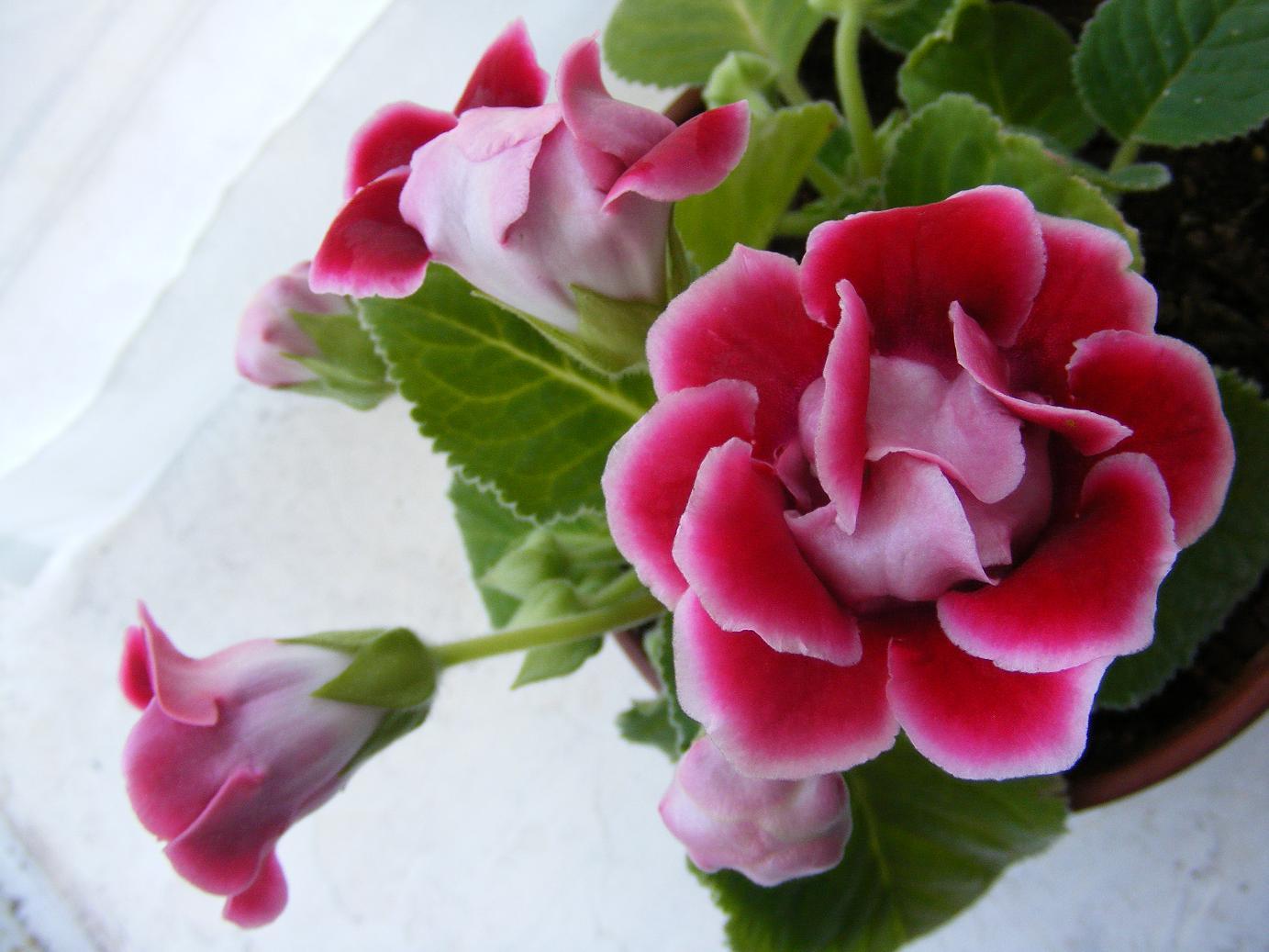 ... FOTO (Hojas moradas, flores rosas y muy frágil) - Foro de InfoJardín