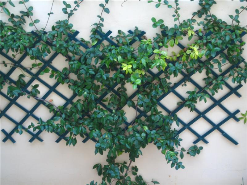 Trepadora para cubrir pared muy fea autoadherente - Plantas trepadoras de sol ...