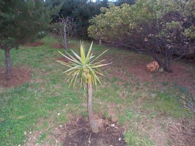 Yucca aloifolia o yucca gloriosa fotos y consejos - Yuca infojardin ...