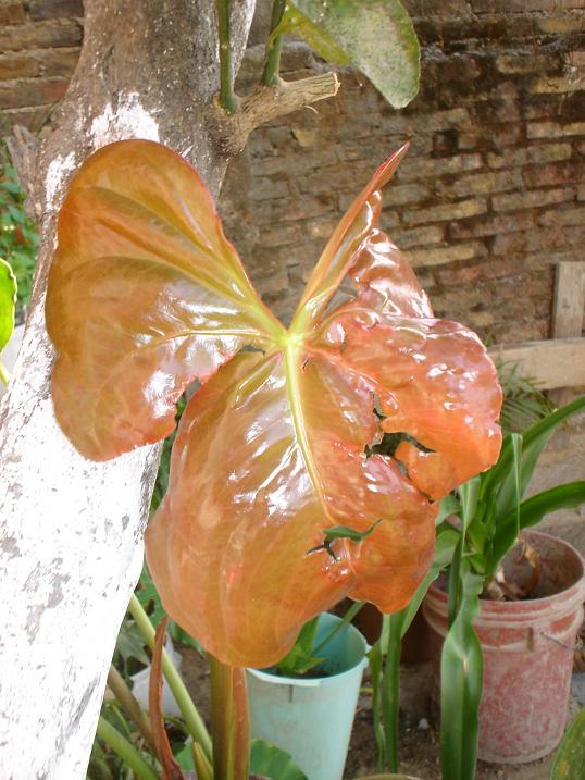 Anturio con problema y otras plantas de interior - Vitaminas para plantas de interior ...