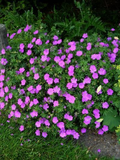Re geranium sanguineum es este felix pictures for Infos jardin
