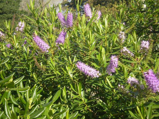 Fotos de nuestros arbustos y trepadoras p gina 7 for Hebe arbusto