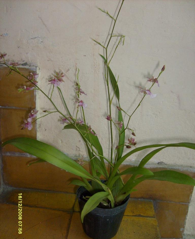 Pesebre y nuevo oncidium for Infos jardin