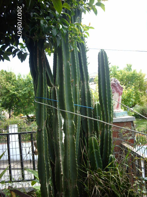 Cactus trichocereus pachanoi d nde comprar en la zona de for Donde venden cactus
