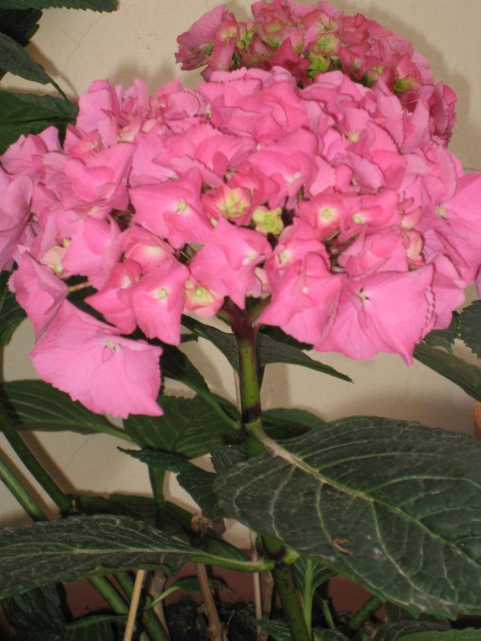 Semillas de hortensias c mo recolectar - Semillas de hortensias ...