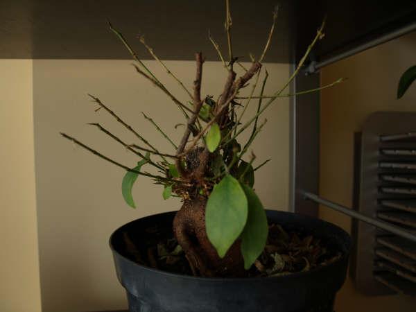 Ficus retusa cuidados para este ficus for Ficus interior cuidados
