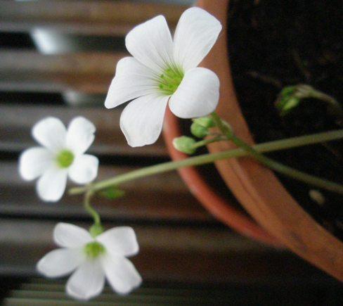 Fotos e informaci n de plantas ornamentales que cultivamos for Informacion de plantas ornamentales