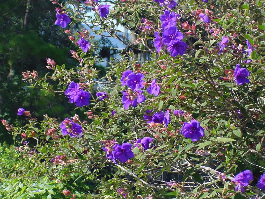 Dos arbustos con flores moradas for Arbustos para jardin con flores