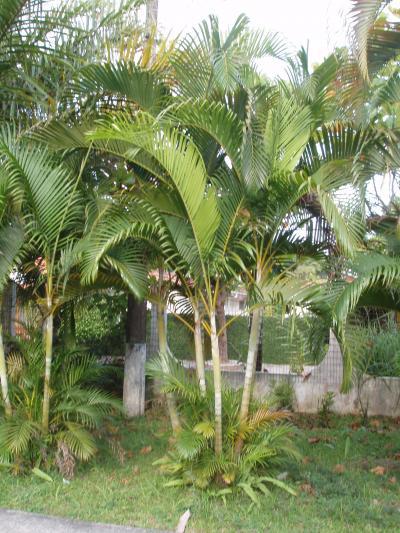 Fotos de palmeras de brasil phoenix robellini y dypsis for Palmeras de exterior