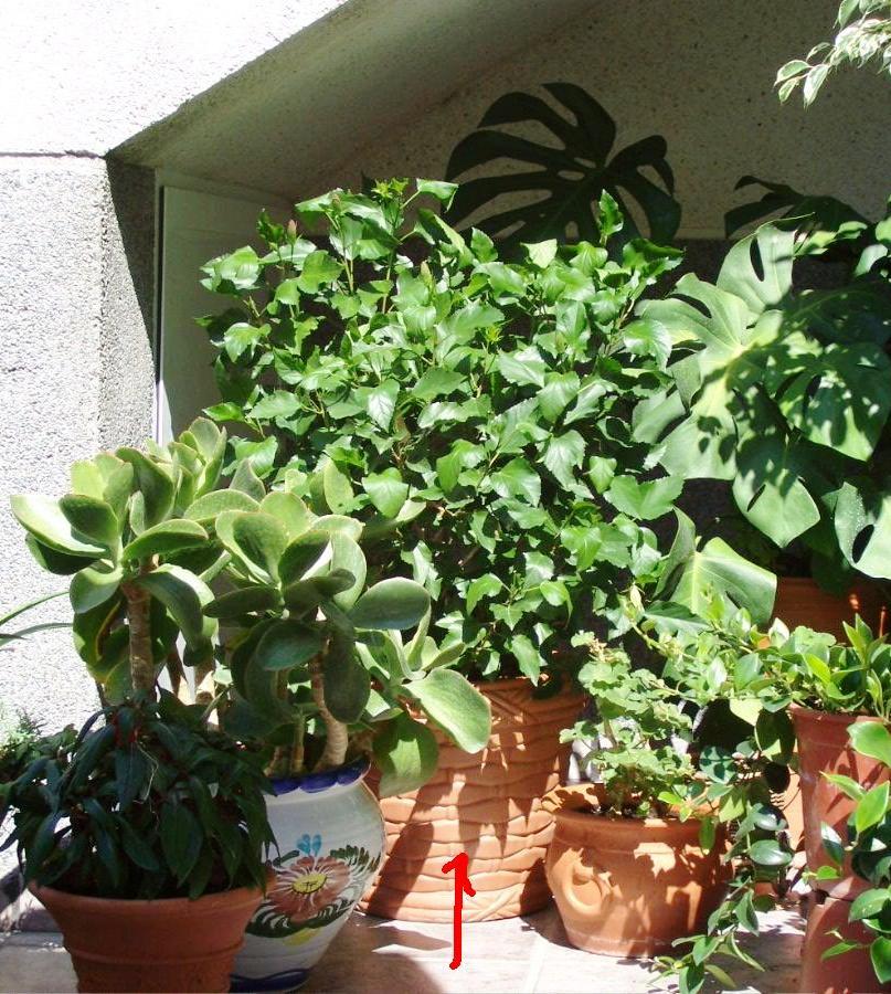 C mo organizar terraza de 11x7 p gina 2 - Madreselva en maceta ...