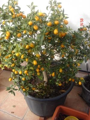 Elecci n de rboles frutales en macetas para una terraza o for Arboles frutales en maceta