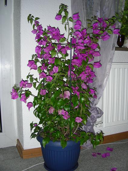 Buganvilla que no florece - Hortensias cuidados maceta ...