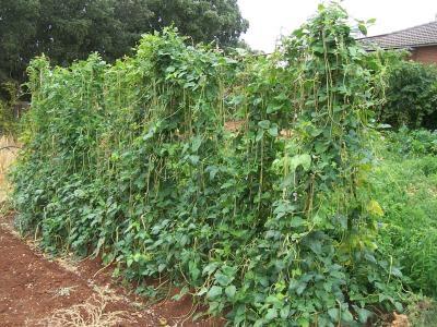 El huerto de balsas mayo 2011 - Cultivar judias verdes ...