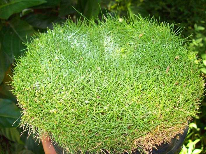 Foto de sagina o scleranthus no es un pasto pero se puede for Tipos de cesped natural para jardin