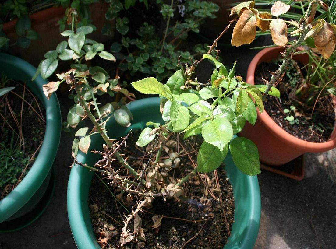 Rosales en maceta se secan los tallos - Rosales en macetas ...