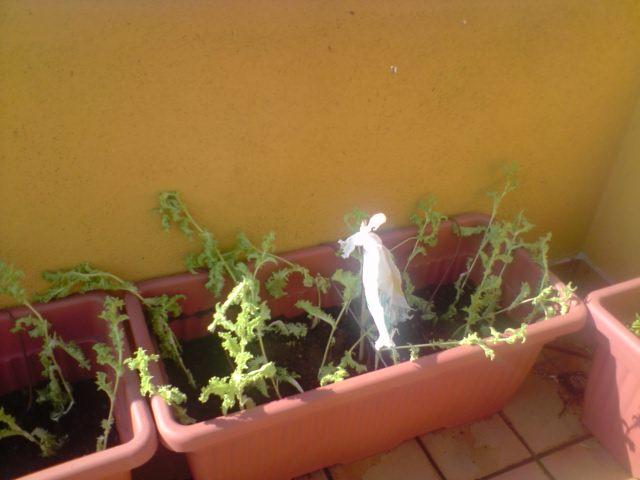 cómo se planta escarola en maceta?