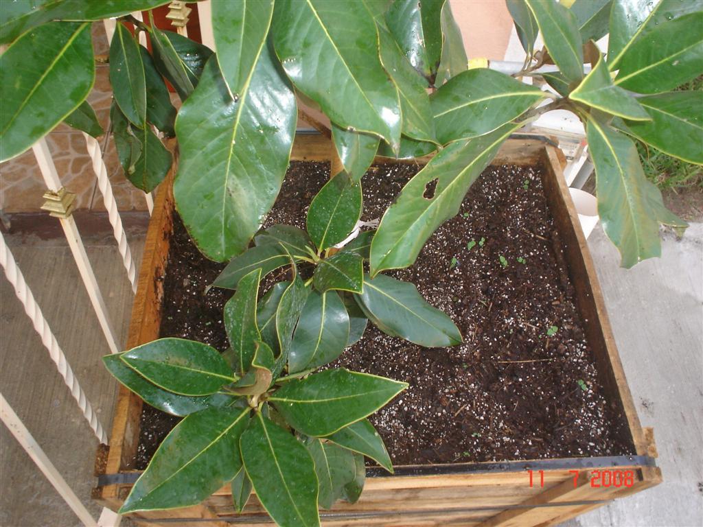 Manchas negras en la hoja de la magnolia grandiflora - Cuidados del magnolio ...