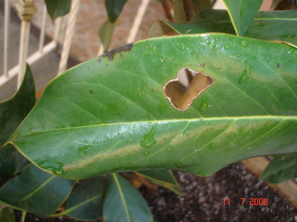 Manchas negras en la hoja de la magnolia grandiflora - Magnolia grandiflora cuidados ...